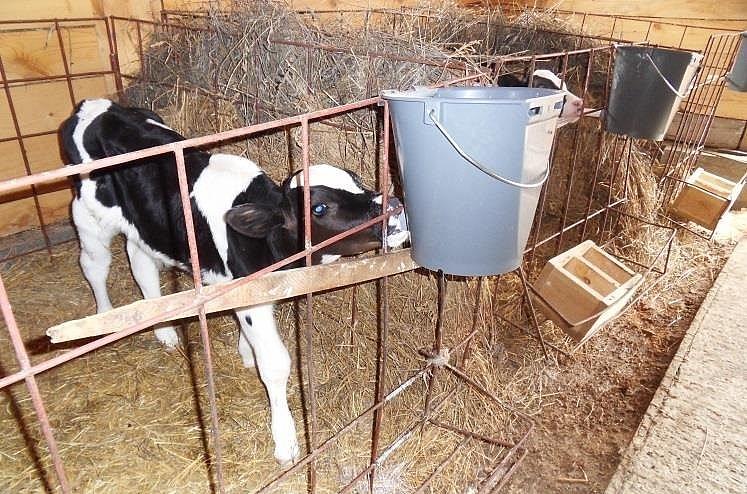 Телят кормят через специальные индивидаульные подойники.