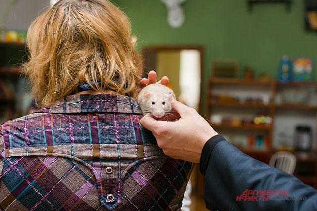 Дарить крыс на Новый год ветеринары не рекомендуют: далеко не каждый будет рад такому питомцу.