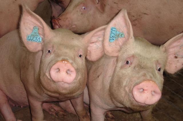 Чипированные свинки.