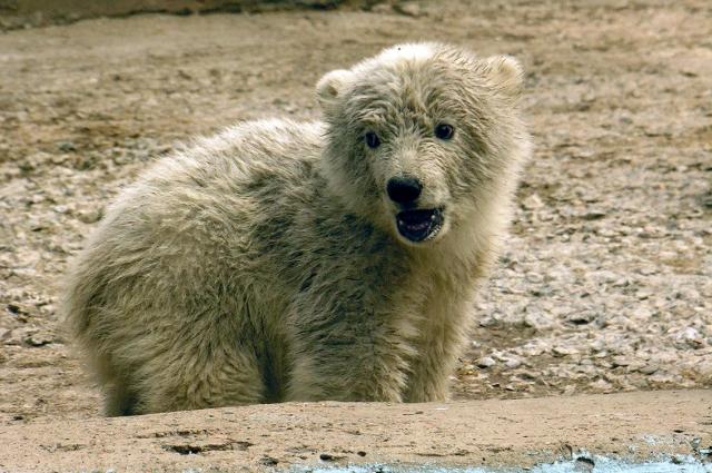 Таким погибающего медведя нашли на острове Врангеля.
