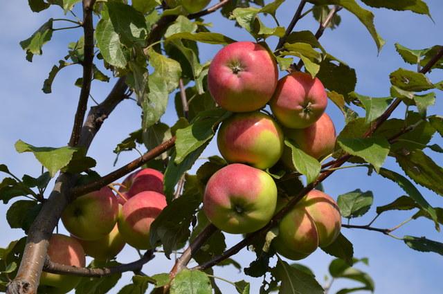 Яблоко сорт Аксена