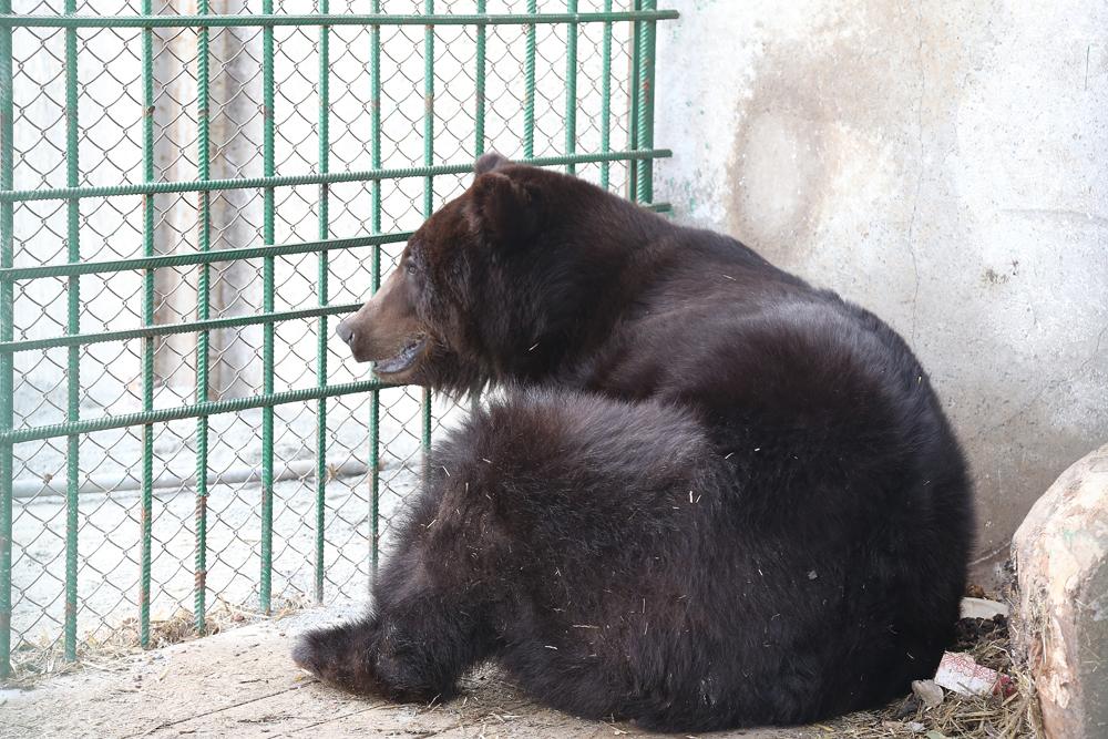 Медведице Мане скоро сделают клетку