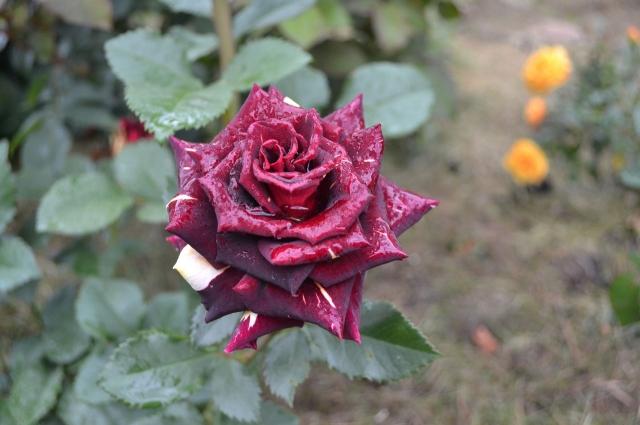 Роза «Фокус-покус».