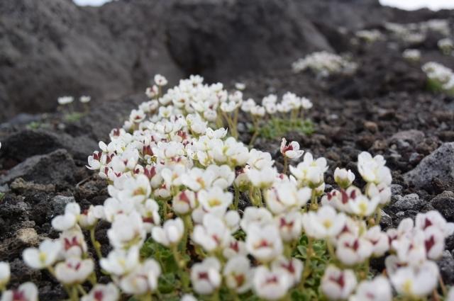 Цветы Камчатки словно сделаны из воска.