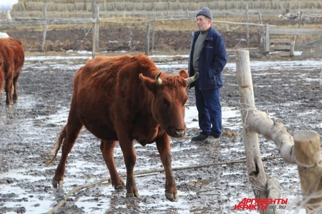 Выращивать коров может быть выгодно, если цена за литр молока -достойная.