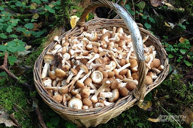 В ноябре, когда похолодает, появляется масса вкусных грибов, например грузди, рядовки, опята.