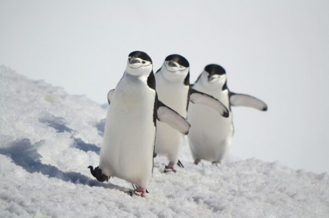 «В Антарктиду обычно приезжают с декабря по март. В это время здесь лето, нет сильных ветров. Можно увидеть, как растут пингвинята».