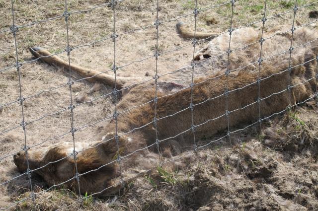 Трупы животных долгое время не убирали.