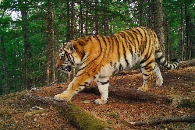 Главные герои - амурские тигры.