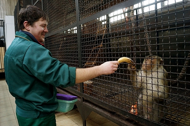 Свинохвостый макак Джон забирает банан из рук Сергея