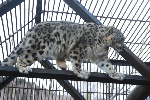 Шансов на выживание в дикой природе у покалеченного барса нет.