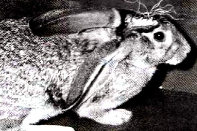 Тот самый кролик, на котором ставили опыты советские учёные.