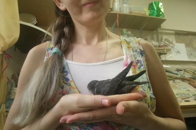 Один птенец за сутки ест от 70 до 120 сверчков среднего размера. Кроху нужно опекать 45 дней, пока птенчик не опериться и не встанет на крыло.