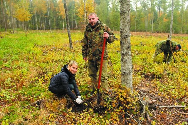 Восстановление леса на Куршской косе.