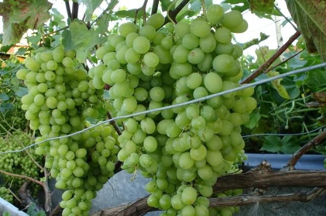 Из сада тюменского виноградаря.