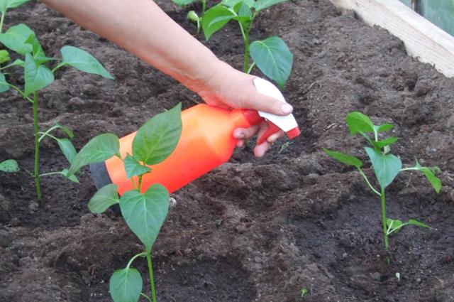 Обработка растений фунгицидами.