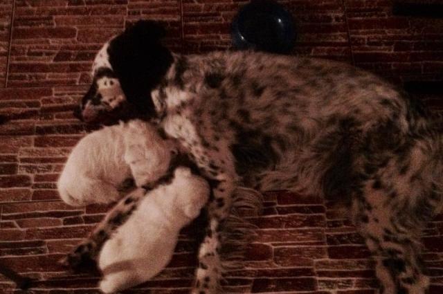 Глядя на то, как Ляля жмется к Любе, и другие щенки стали осмеливаться подходить к доброму, благородному и умному сеттеру.