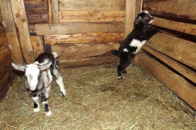 Любопытные жители фермы.