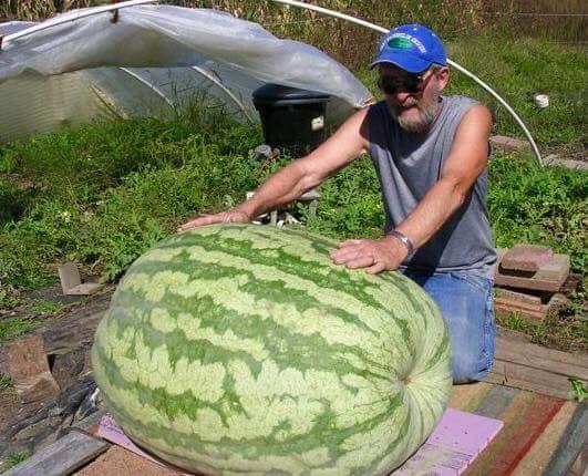Самый большой арбуз вырастили в Херсонской области.