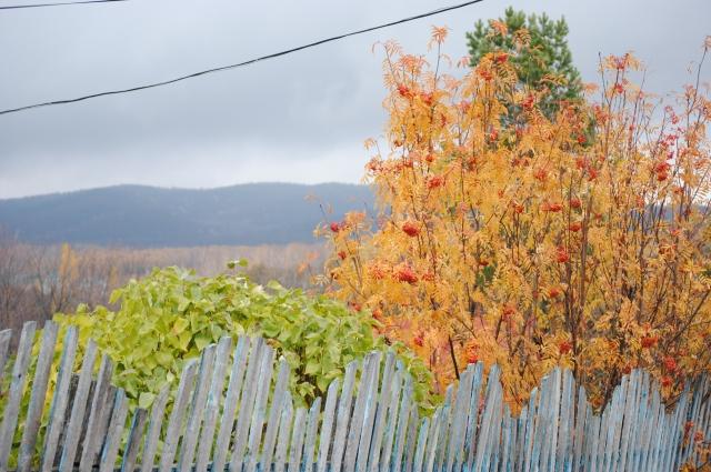 По количеству ягод на рябине можно судить о том, насколько суровой будет зима.