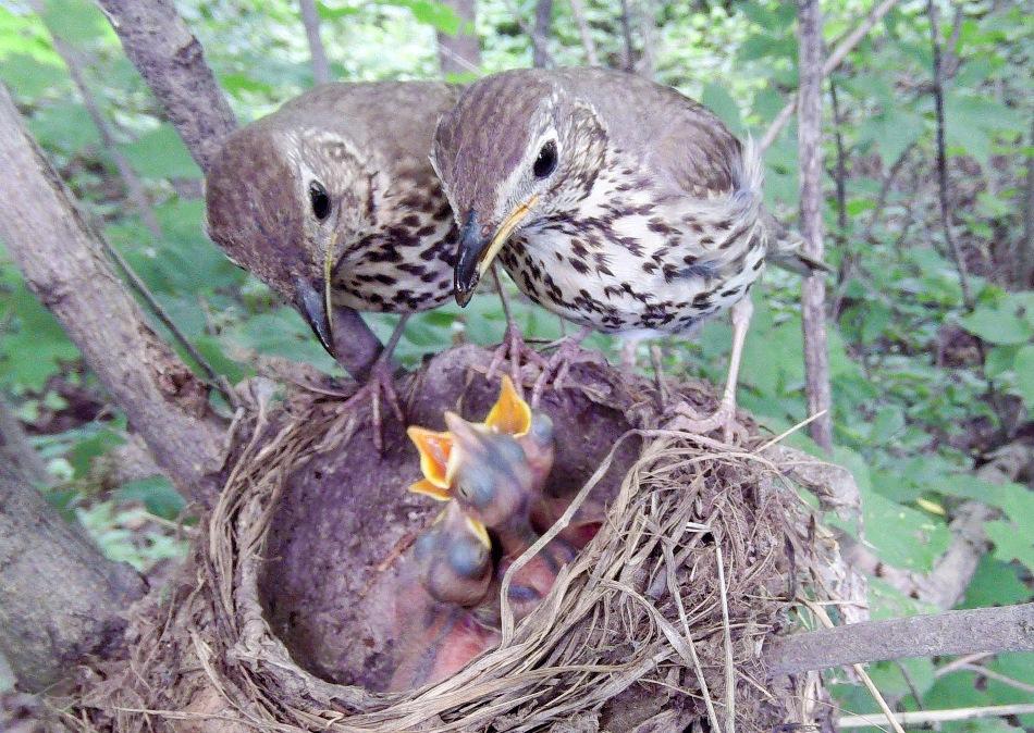 Гнездо дроздов– постройка заметная, как уэтой пары певчих дроздов.