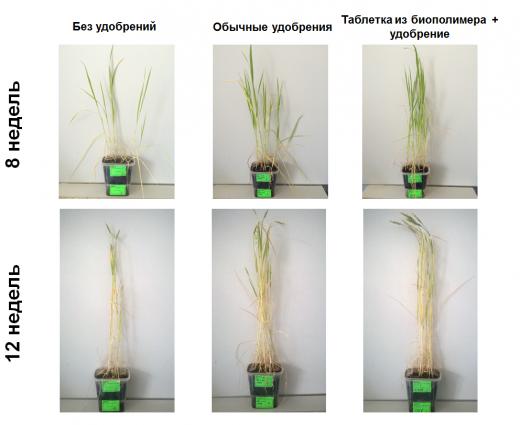 Биомасса пшеницы выращенной с использованием умных удобрений на 25% больше, чем в случае обычных питательных добавок