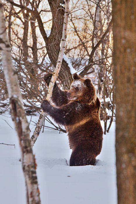 Фото медведя за минут до гибели