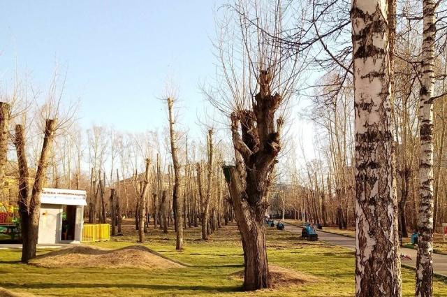 От безответственной обрезки деревья погибают.