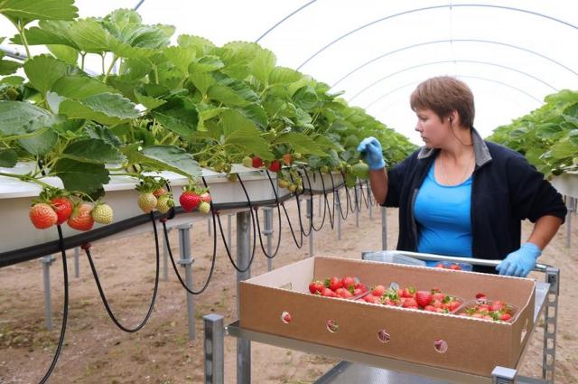 С недавних пор клубнику в Калининградской области начали выращивать в промышленных масштабах.