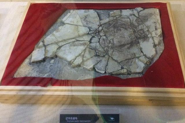 Окаменелые остатки «археораптора».