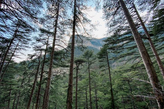 Хвойными деревьями богаты не все районы Пермского края.