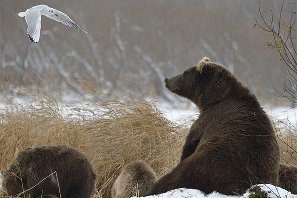 Медведи не постоянно в поисках пищи.
