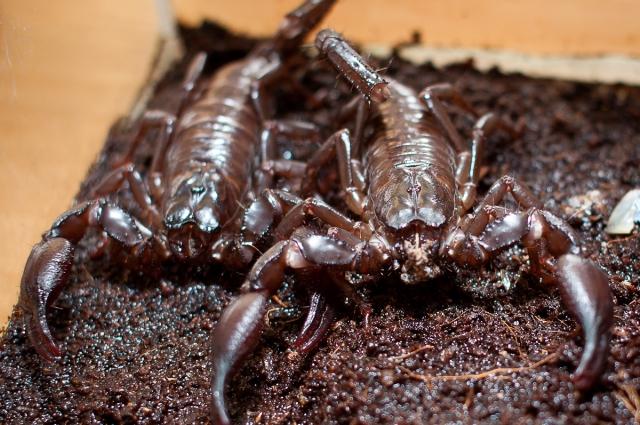 Скорпионы Heterometrus spinifer