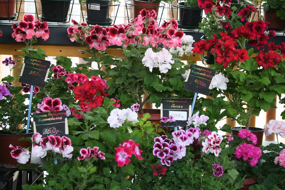 Пеларгонии-ангелы, королевские, плющевидные, тюльпановидные – таких экзотических сортов не найдешь в цветочных магазинах.