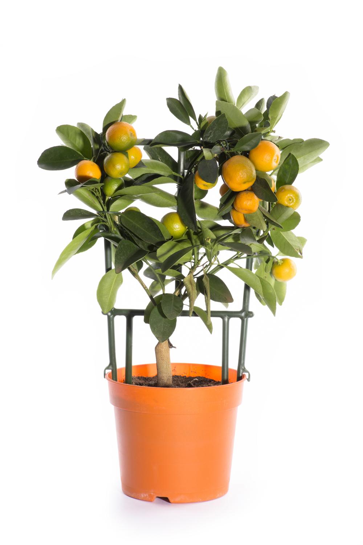 Обычно мандарины поспевают к Новому году.