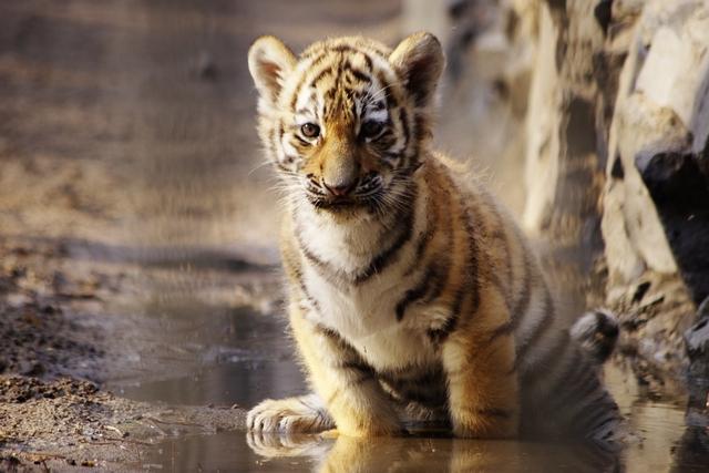 Для гостей расскажут много историй о тиграх.