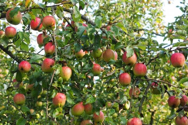 Если две яблони растут слишком близко, придётся самостоятельно подрезать из ветки, чтобы они не мешали друг другу.
