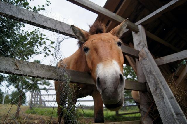 Лошади Пржевальского - обитатели Азии, но они прекрасно прижились и на родине открывшего их путешественника.
