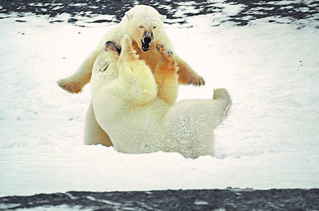 Сегодня белые медведи всё чаще заходят к людям «на огонёк» – чтобы подкормиться.