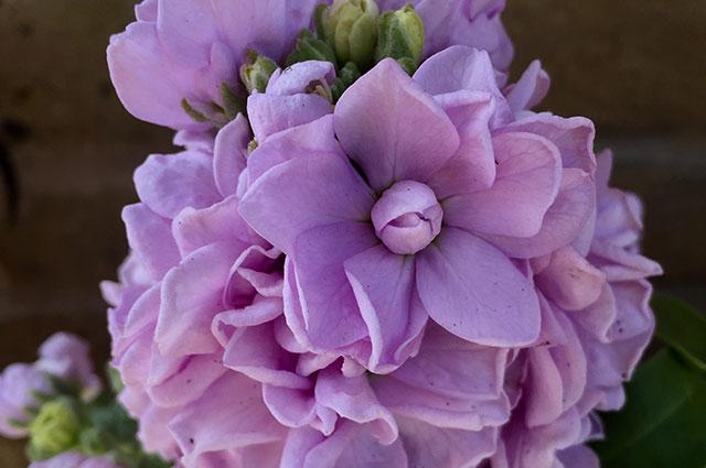 Cinderella Lavender.