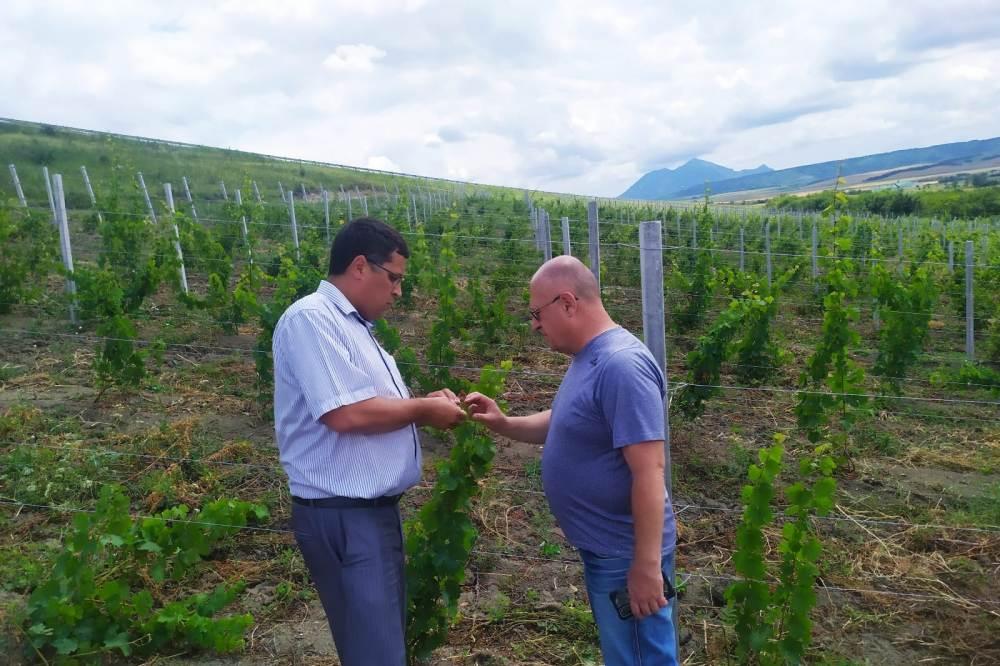 На Ставрополье закладывают новые виноградники.