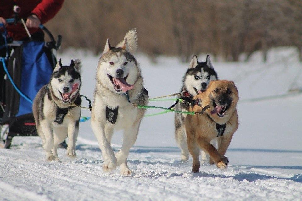 В основном, собаки бегают на коротких дистанциях до 10-15 километров.