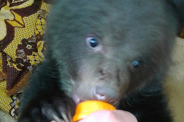 Охотники отстрелили новорожденному медвежонку заднюю лапу.