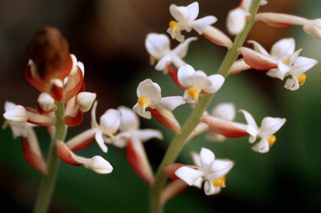 Орхидея Лудизия.