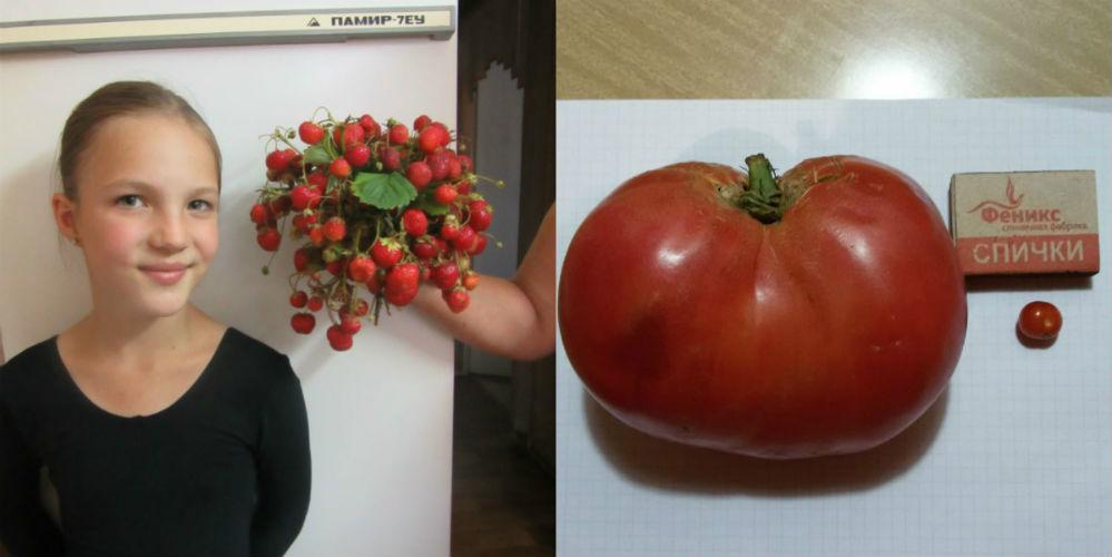 Елена Раторгуева: «Мы но- вички в выращивании овощей. Эти помидоры поразили нас сво- ими контрастными размерами. Большая весит 576 г., а на ма- ленькую домашние электронные весы даже не среагиро- вали. Спичечный коробок положили, чтобы представить размер помидорки и помидорищи».