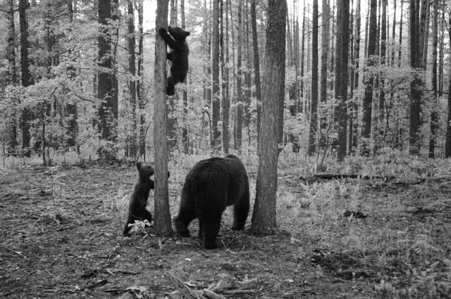 Медведи облюбовали сосну около фотоловушки.