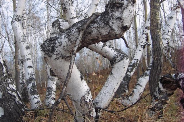 Уникальный «танцующий лес» - очень редкое для нашего региона явление.