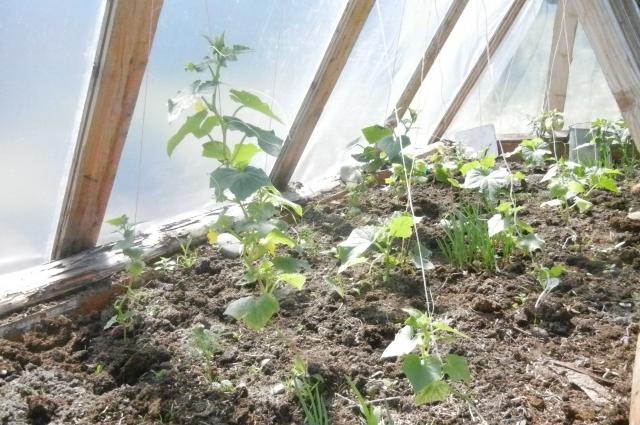 Перед подкормкой растение нужно хорошо полить.