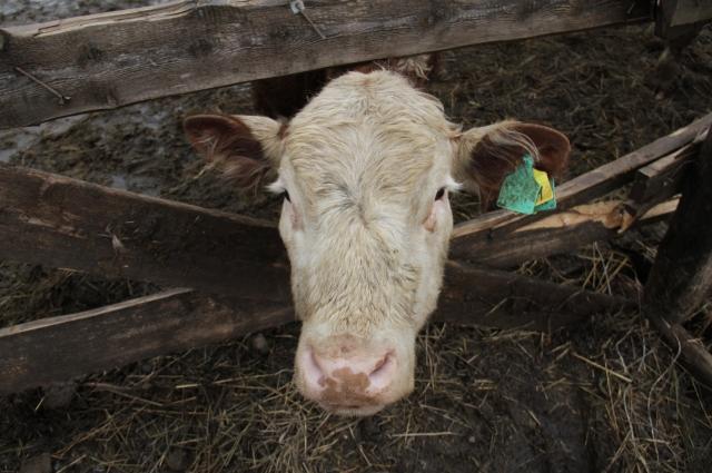 Массовую гибель коров могли сильно преувеличить.